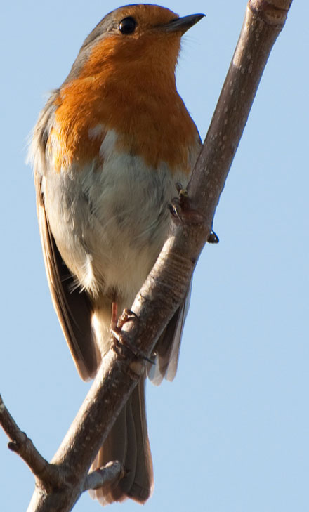 Robin by harlequeen@Flickr