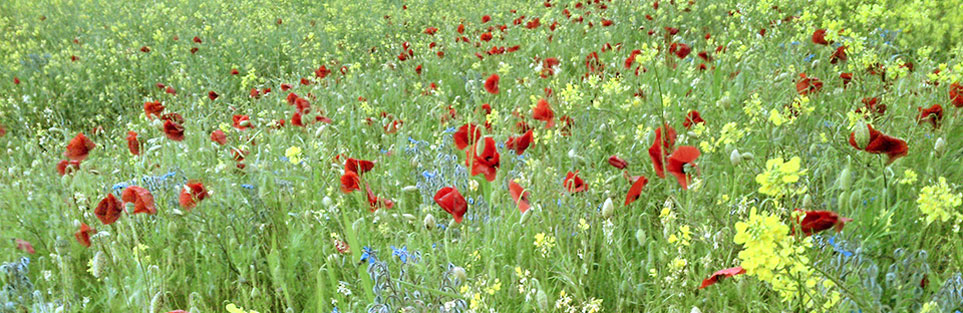 Meadow, with poppies, borage and oil seed rape